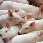 Superbug spread to Norwegian pigs from foreign farm workers